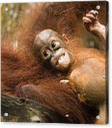 Orangutan Pongo Pygmaeus.  Juvenile Acrylic Print