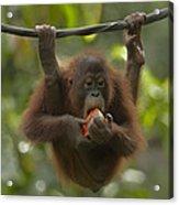 Orangutan Pongo Pygmaeus Young Eating Acrylic Print