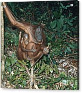 Orangutan With Baby Acrylic Print