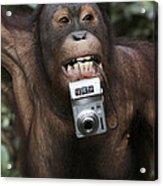 Orangutan With Tourists Camera Acrylic Print
