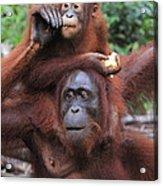 Orangutans Acrylic Print