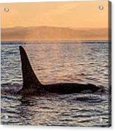 Orca At Sunset Acrylic Print