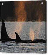 Orca Orcinus Orca Resident Pod Acrylic Print