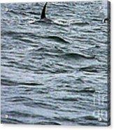 Orca Whales Acrylic Print