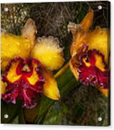 Orchid - Cattleya - Dripping With Passion  Acrylic Print