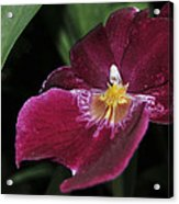 Orchid 252 Acrylic Print