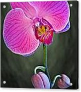 Orchid And Buds Acrylic Print