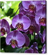 Orchid Beauties Acrylic Print