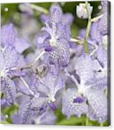 Orchid Blooms Acrylic Print