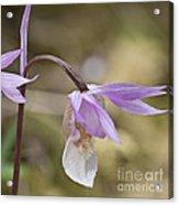 Orchid Calypso Bulbosa - 1 Acrylic Print