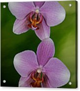 Orchid Delight Acrylic Print by Adele Moscaritolo
