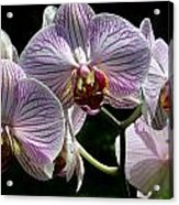 Orchid Flower Blooms Acrylic Print