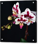 Orchid Flowers Against Black Background Acrylic Print