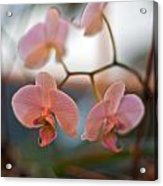 Orchid Gathering Acrylic Print