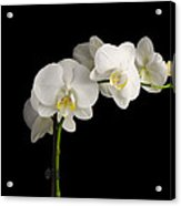 Orchid On Black Acrylic Print