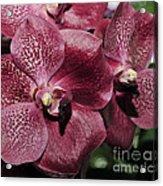 Orchid Vanda And Ascocenda Hybrid II Acrylic Print