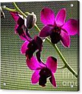 Orchids In The Sunlight Acrylic Print