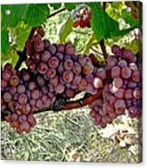 Oregon Burgundy Acrylic Print