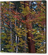 Oregon Madrone Acrylic Print