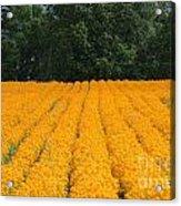 Oregon Orange Field Acrylic Print