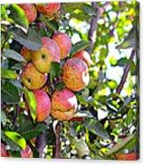Organic Apples In A Tree Acrylic Print