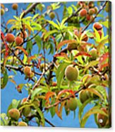 Organic Peach Tree, Acrylic Print by Pete Starman