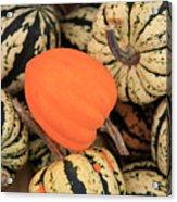 Organic Pumpkins Acrylic Print by Wendy Connett