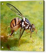 Oriental Fruit Fly Laying Eggs Acrylic Print