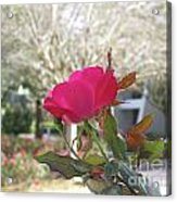 Orlando Rose Acrylic Print