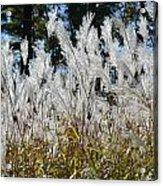 Ornamental Grass Acrylic Print