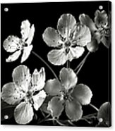 Ornamental Pear In Black And White Acrylic Print