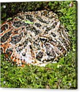 Ornate Horned Frog Acrylic Print