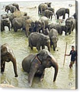 Orphaned Elephants Acrylic Print
