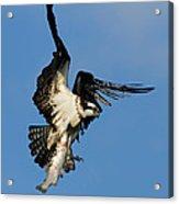 Osprey And Rainbow Trout Acrylic Print