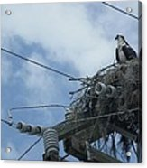 Osprey And Song Bird Acrylic Print
