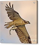 Osprey Catches Big Fish Acrylic Print
