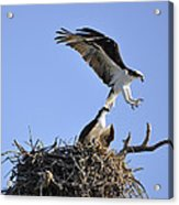 Osprey Coming In For A Landing Acrylic Print
