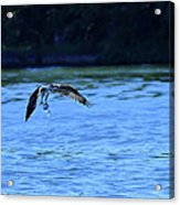 Osprey Environmentalist Acrylic Print