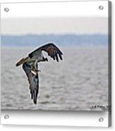 Osprey Grab Acrylic Print