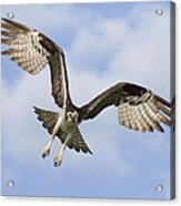 Osprey In Flight One Acrylic Print