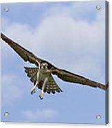 Osprey In Flight Two Acrylic Print