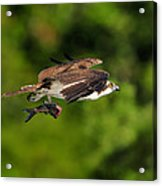 Osprey Inflight At Blue Cypress Lake Acrylic Print