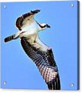 Osprey Inflight Acrylic Print