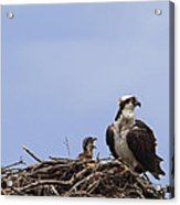 Osprey Mother And Chick Acrylic Print