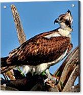 Osprey On A Windy Morning Acrylic Print