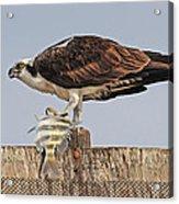 Osprey With Catch Acrylic Print