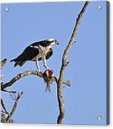 Osprey with Catch II Acrylic Print