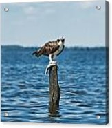 Osprey With Catch. Acrylic Print