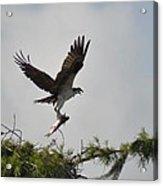 Osprey With Lunch Acrylic Print