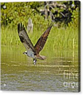 Osprey With Rainbow Trout Acrylic Print